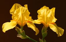 Free Yellow Iris Royalty Free Stock Images - 3172719