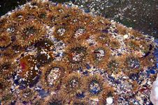 Free Sea Anemones Stock Images - 3173144