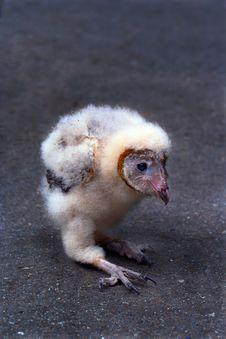 Free Baby Barn Owl Stock Image - 3173161