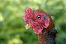 Free Rooster Royalty Free Stock Photos - 3173258