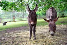 Baby Donkey With Mother Stock Photo