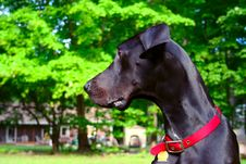 Free Young Great Dane Stock Photo - 3173350