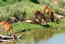 Free Gazelle Animal Watering Hole Royalty Free Stock Photo - 3173465