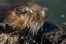 Free Sea Otter Royalty Free Stock Image - 3173646