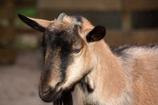 Free The Goat Royalty Free Stock Photo - 3173725