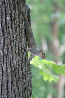 Free Grey Squirrel In Tree Stock Images - 3173984
