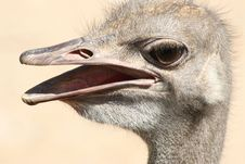 Free Ostrich Head With Expression Royalty Free Stock Image - 3173986