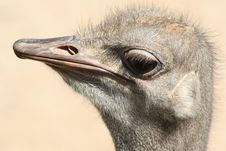 Free Ostrich Head With Expression Royalty Free Stock Image - 3173996