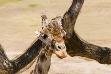 Free Giraffe Stock Photo - 3174250