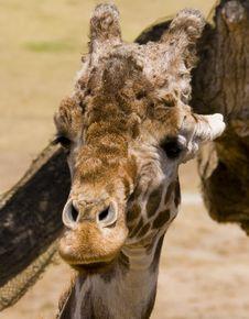 Free Giraffe Stock Photography - 3174252