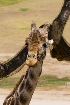 Free Giraffe Royalty Free Stock Image - 3174256