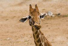 Free Giraffe Stock Photos - 3174273