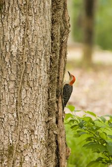 Free Woodpecker Stock Photos - 3174583