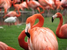 Free Flamingo Crowd Royalty Free Stock Photos - 3174838
