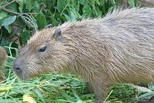 Free Capybara Stock Image - 3175471