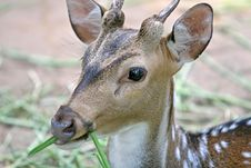 Free Spotted Deer Stock Photography - 3175472