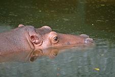 Free Submerged Hippo Stock Image - 3175511