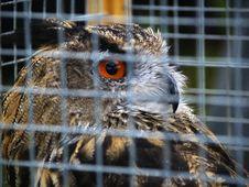 Owl Behind Bars Royalty Free Stock Image