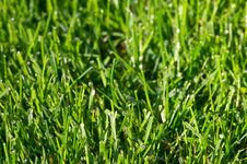 Free Grass And Dew Royalty Free Stock Image - 3177326