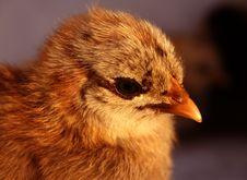 Free Aracauna Chick 5 Royalty Free Stock Photography - 3178027