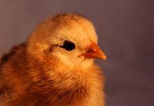 Free Aracauna Chick 6 Stock Image - 3178451