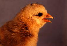 Free Aracauna Chick 7 Stock Image - 3178541