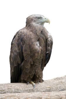 Free Eagle On A Log Royalty Free Stock Photo - 3178665