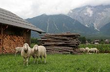 Free Mountain Sheep 2 Stock Photo - 3178750