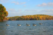 Free Five Geese And Fall Foliage Stock Image - 3179141