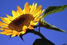 Free Sunflower Royalty Free Stock Image - 3179876