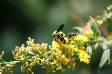 Wasp On Yellow Flowers Stock Photo