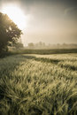 Free Foggy Sunrise In The Wheat Field Royalty Free Stock Photos - 31705068