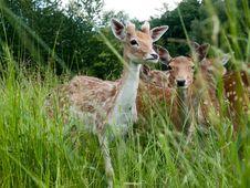 Free Fallow Deer Stock Photos - 31702493