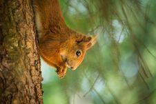 Free Squirrel Royalty Free Stock Photos - 31703178