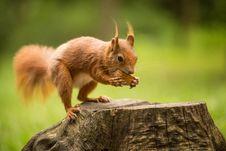 Free Squirrel Stock Photos - 31703223