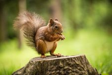 Free Squirrel Royalty Free Stock Images - 31703259