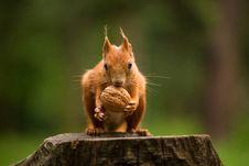 Free Squirrel Royalty Free Stock Image - 31703346