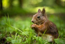 Free Squirrel Royalty Free Stock Image - 31703486