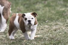Free Female Bulldog Puppy Outside Stock Images - 31704484