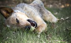 Free Red Heeler In The Grass Royalty Free Stock Photo - 31704515