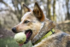 Free Red Heeler With Her Tennis Ball Stock Image - 31704521