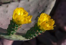 Free Yellow Flowers On A Green Tropical Cactus. Royalty Free Stock Photos - 31705538