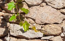 Green Branch Of Grapes On The Background Wall Stock Photo