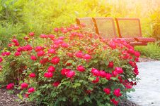 Free Beautiful Roses Garden Stock Photos - 31706923