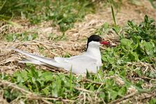 Arctic Tern On Nest Stock Photography