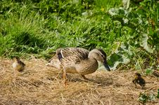 Female Mallard Duck With Chicks Royalty Free Stock Images