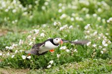 Puffin Takes Off Royalty Free Stock Photography