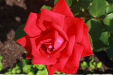 Beautiful Blossoming Rose Against The Green Of The Leaves Stock Photography