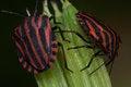 Free Pentatomidae Graphosoma Lineatum, Red And Black Striped Minstrel Bug Macro. Stock Photo - 31713260
