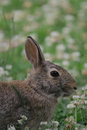 Free Eastern Cottontail 2 Stock Images - 31716914